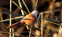 Bearded Tit at Bicester Wetland © Derek Hales