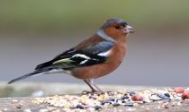 Chaffinch at Balscote © Derek Hales