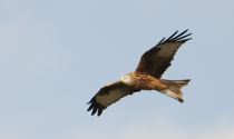 Red Kite at Balscote © Richard Dunn