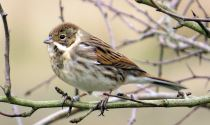 Reed Bunting at Balscote © Tony Clark