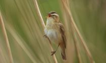 Sedge Warbler at Bicester Wetlands © Richard Dunn