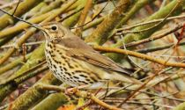 Song Thrush © Nick Truby