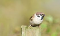 Tree Sparrow at Balscote © Richard Dunn