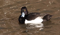 Tufted Duck © Trevor Easterbrook