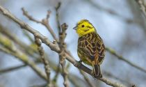 Yellowhammer at Balscote © Richard Dunn